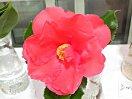紅色 八重咲き 大輪 柊葉