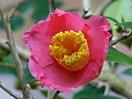 桃紅、一重、筒咲、筒しべ、中輪