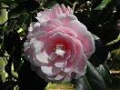 淡桃色地 花弁の基部は色濃く弁端は白 千重咲き 中輪