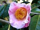 淡桃色地 外弁は紅色ぼかし 一重 筒〜ラッパ咲き 筒しべ 小輪