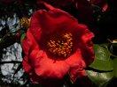 濃朱紅色 一重 平開咲き 梅芯 大輪
