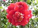 暗紅色 唐子〜牡丹咲き 白い旗弁が混じる 大輪
