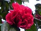 濃紅色 牡丹咲き 散りしべ 大輪