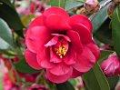 暗紅色 宝珠〜八重咲き 中輪
