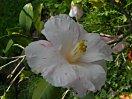 白〜移り白地 淡紅縦〜小絞り 八重 二重鋸歯で桜葉に似る