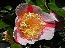 淡桃色地 紅縦絞り 白覆輪 一重 平開咲き 梅芯 大輪