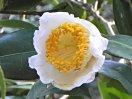 白色 一重 平開咲き 花糸白色 梅芯 中輪