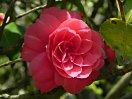 紅色 千重咲き 中輪