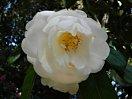 白色 八重 抱え咲き 極大輪