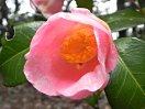 白色地 淡桃色のカスリ状ぼかし 微細な吹掛け絞り やや底白 一重 筒〜ラッパ咲き 筒しべ 小輪