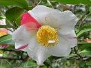 白色地 大小紅縦絞り 一重 平開咲き 中輪