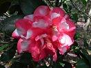 紅色地 大小の白斑入り 八重咲き 筒しべ 大輪