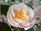 極淡桃色 八重咲き 中輪