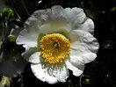 白色 一重 平開咲き 輪芯 中〜大輪
