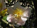 淡桃色 後に白色 八重 平開咲き 花糸は黄白色 梅芯 大輪