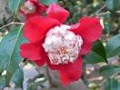 濃紅色 唐子咲き 花芯の唐子弁は白色 花糸は紅色 小輪
