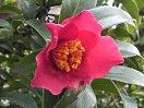 鮮紅色 一重 キキョウ咲き ユキ芯 極小輪