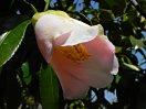 淡桃色 底白 一重 筒咲き 筒しべ 小輪