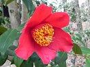 濃紅色 一重 平開咲き 雄しべの葯は変形・弁化 中・大輪