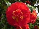 鮮赤色 二段咲き 中・大輪