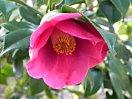 紫を帯びる紅色 一重 筒咲き 筒しべ 中輪 香りが強い