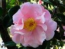 淡桃色 八重咲き 極大輪