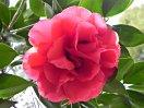 鮮紅色 牡丹咲き 大〜極大輪