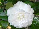 純白 千重咲き 大輪