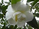 白色 八重 不規則な弁が黄色い雄しべと混じる 大輪