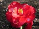 濃暗赤色地 白斑入り 八重咲き 大輪