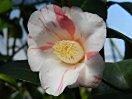 白色地 紅紫の縦〜小絞り 一重 猪口咲き 侘芯 極小輪