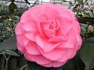 藤桃色 バラ咲き 大輪
