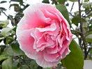 桃色地 白覆輪 八重咲き 大輪
