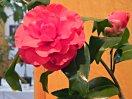 暗紅色 八重咲き 中輪 錦魚葉