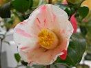 白〜濃桃色地 大小の紅縦絞り 一重 ラッパ咲き 筒しべ 中輪