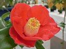 濃紅色 一重 抱え〜椀咲き 先細りの筒しべ 中輪