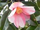 淡桃色地 淡紅縦絞り 一重 猪口咲き 侘芯 極小輪