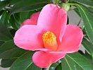 桃紅色 一重 細長弁 中折れ 筒〜ラッパ咲き 筒しべ 小輪