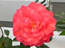 紫紅色 弁央白ぼかし バラ咲き〜千重咲き 大輪