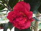 鮮紅色 牡丹〜獅子咲き 大輪