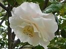 移り白〜極淡い桃色 宝珠〜八重 牡丹咲き 筒〜割りしべ 大輪