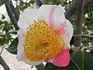 白色地 紅縦絞り 一重 平開咲き 花糸黄色 梅芯 大輪