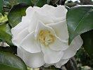 白色 花底は帯黄色 八重 蓮華性 割りしべ 大輪
