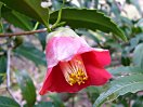 紅色 一重 筒咲き 筒しべ 小輪 柊葉