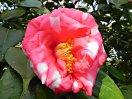 桃紅色地 大小の白斑入り 八重 筒しべ 大輪