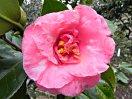 濃桃色地 白斑入り 八重咲き 中輪