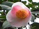 淡桃色 外弁淡紅ぼかし 一重 椀咲き 中輪