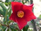 朱を帯びた鮮紅色 一重 ラッパ咲き 筒しべ 中輪