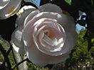 極淡桃色 千重 宝珠咲き 中輪