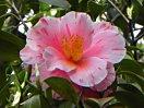 白・淡桃色地 桃色の小絞・縦絞 八重咲き 中輪